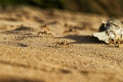 Крабы на песке пляжа накидки Ledo, Африки anisette С светом захода солнца стоковые изображения