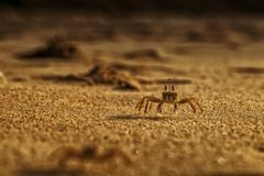 Крабы на песке пляжа накидки Ledo, Африки anisette С светом захода солнца стоковое фото
