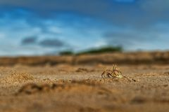 Крабы на песке пляжа накидки Ledo, Африки anisette С светом захода солнца стоковые фотографии rf