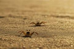 Крабы на песке пляжа накидки Ledo, Африки anisette С светом захода солнца стоковые изображения rf