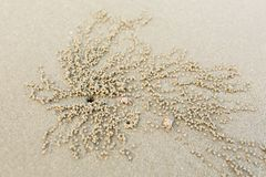 Крабы призрака выкапывая шарики песка Стоковые Изображения RF