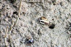 Крабы скрипача, заболоченные места Стоковое фото RF