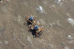 Крабы солдата Стоковые Фотографии RF