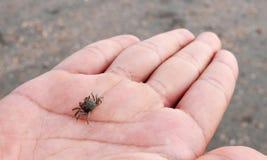 Краб барботера песка в ладони Стоковые Изображения
