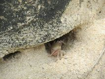 Краб вползая из отверстия из-под камня стоковая фотография rf
