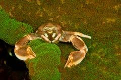 Краб в актинии Стоковое Фото