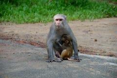 Краб-еда макаки подавая свой младенец стоковые фотографии rf