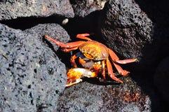 Краб ест краба Стоковое фото RF