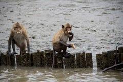 Краб-еда макаки, обезьяна Стоковое Изображение RF