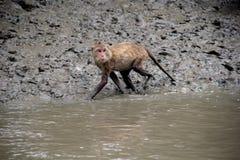 Краб-еда макаки, обезьяна Стоковые Фотографии RF