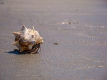 Краб затворницы на пляже Каролины Стоковые Изображения RF