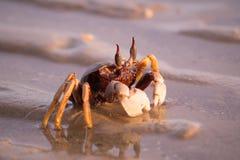 Краб идя на пляж во время захода солнца Стоковая Фотография