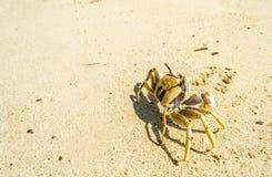 Краб идя на пляж Стоковое Изображение