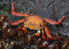 Краб красного цвета Галапагос стоковое фото rf