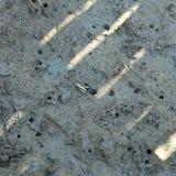 Краб мангровы подавая на mudflats во время малой воды Mederi Sesarma стоковая фотография rf