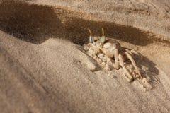 Краб моря на песке Стоковое Фото