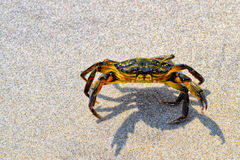 Краб на песке на береге Мейна Стоковое фото RF
