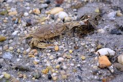 Краб на пляже залива Sandy Стоковые Изображения RF