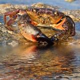 Краб на прибрежных утесах стоковые фотографии rf
