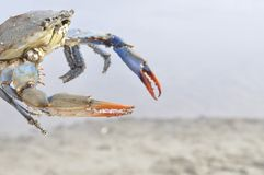 Краб на пляже от Греции стоковые изображения rf