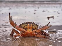 Краб на пляже Стоковые Изображения RF