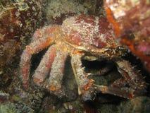 Краб паука Стоковая Фотография