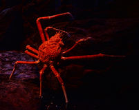 Краб паука Стоковые Изображения RF