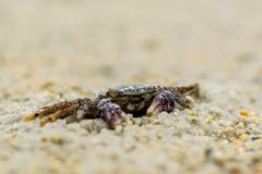Краб песка стоковая фотография