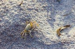 Краб призрака на песке Стоковые Изображения