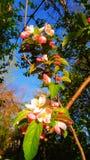 Краб Яблоко цветет стоковое фото