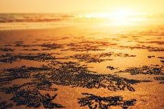 Краб, Ocypode, краб ветра на искусстве песка с заходом солнца стоковые изображения rf