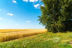 край желтого пшеничного поля на солнечный день стоковая фотография rf