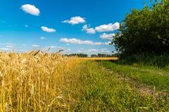 край желтого пшеничного поля на солнечный день стоковое фото