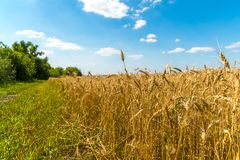 край желтого пшеничного поля на солнечный день стоковые изображения rf