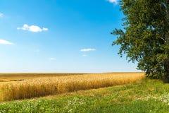 край желтого пшеничного поля на солнечный день стоковые фотографии rf