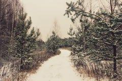 Край зимы соснового леса стоковое изображение