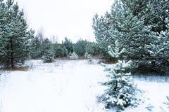 Край зимы соснового леса стоковые фотографии rf