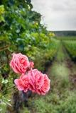 край имущества с лозой розария и шпалеры стоковое фото rf