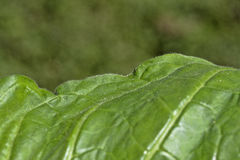 Край лист табака Стоковое Изображение RF