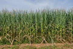 Край кукурузного поля в лете стоковая фотография rf