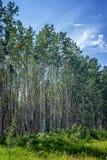 Край леса Aspen стоковое фото rf
