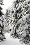Край лесных деревьев мягкой древесины покрытых снегом стоковые фотографии rf