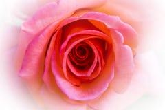 Край розы пинка белый для предпосылки стоковые фото
