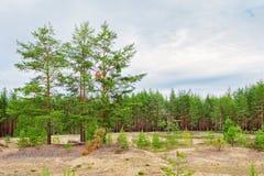 Край соснового леса стоковое изображение