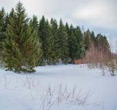 Край соснового леса стоковая фотография rf