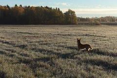 Край травы поля и леса замороженной на поле в собаке заморозка красной на поле стоковые изображения rf