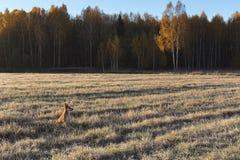 Край травы поля и леса замороженной на поле в солнце утра стоковая фотография