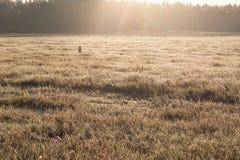 Край травы поля и леса замороженной на поле в солнце утра стоковые изображения rf