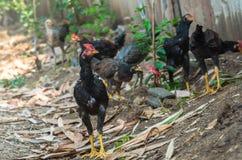 Краны бой или gamecocks в ферме Стоковое Изображение