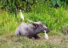 краны буйвола gazing белизна Стоковые Изображения